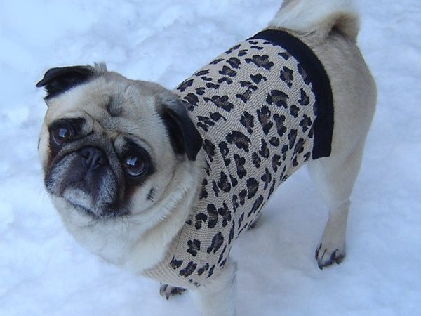 Pug in a leopard print sweater in the snow