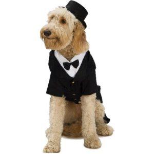 Goldendoodle in a tuxedo