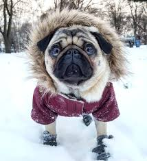 Pug in winter coat and boots