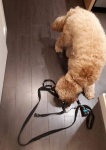 Dog sniffing out his leash and harness