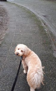 Dog stopped and looking back with leash taut