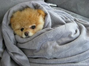 Dog wrapped up in blankets