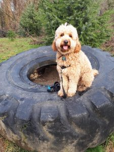 Goldendoodle on large tire at Everett Crowley Park Vancouver