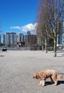 Dogs in Hinge Dog Park Olympic Village Vancouver; view of the city across False Creek