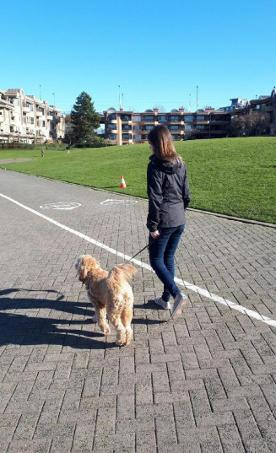 Goldendoodle Walking on Seawall