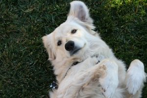 white dog laying down in submissive pose