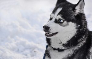 Husky who appears to be stressed, teeth showing and half-moon eye