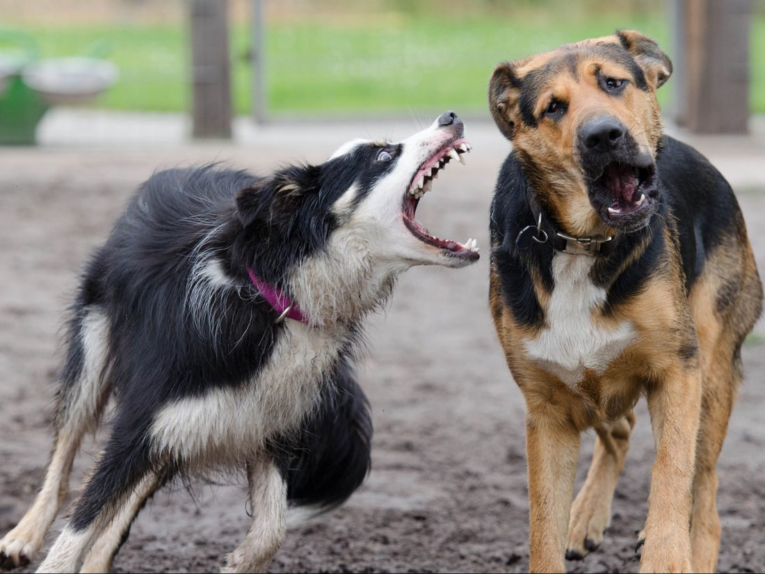 One dog with mouth open barking at another dog who looks frightened