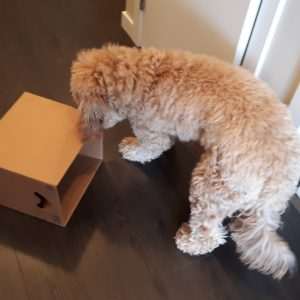 Goldendoodle playing with a box