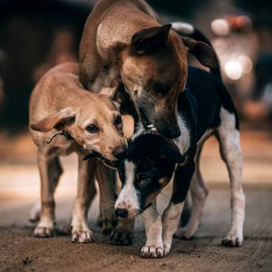 Dog Nipping At Other Dogs Ears