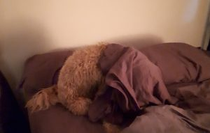 Goldendoodle looking for his toy in bed
