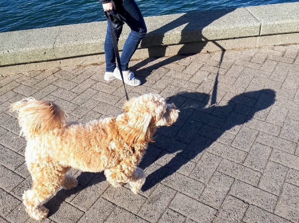 goldendoodle and owner walking on sea wall False Creek Vancouver