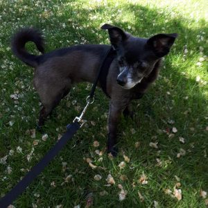 Black Chihuahua standing in the shade