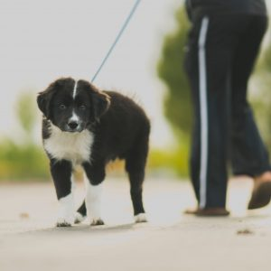 Collie dog on leash in the sand with owner
