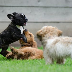 Three puppies playing