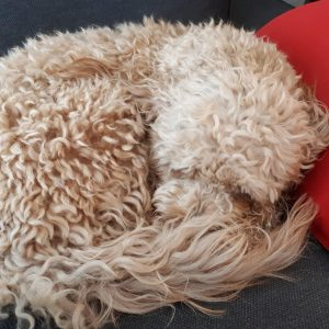 Goldendoodle sleeping in a ball on couch