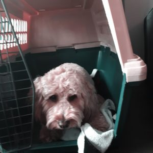 Goldendoodle in his crate