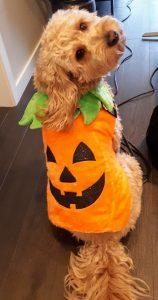 Goldendoodle in a pumpkin costume