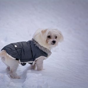 Maltese in a winter jacket standing in the snow
